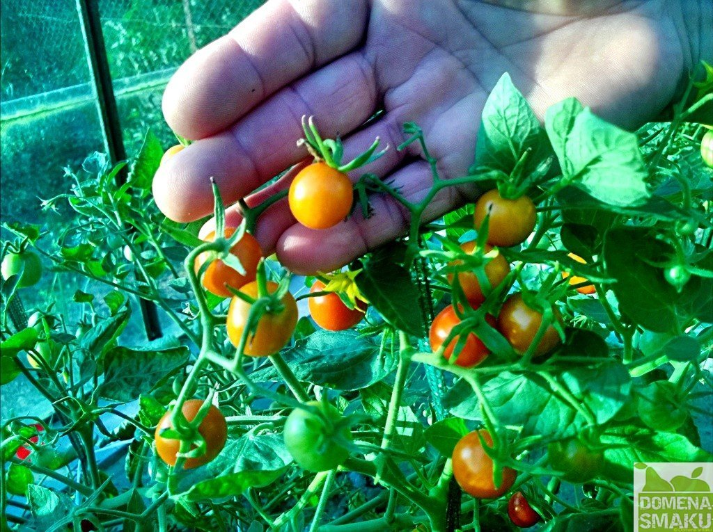 Pomidory kiszone 2